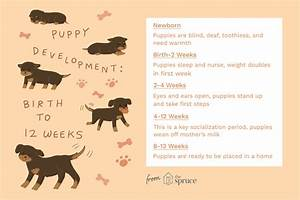 How Many Months Is 20 Weeks Chart The Stages Of Puppyhood Explained