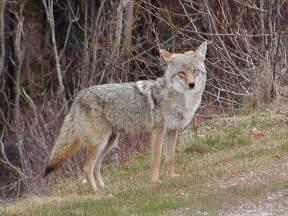 Coyote Attack Connecticut