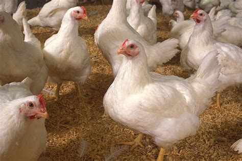broiler lameness   united states