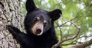 Bear Hunting Fell Slightly In 2016