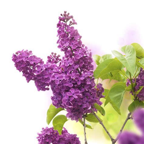 Flieder Pflanzen Schneiden Und Vermehren by Flieder Richtig Pflanzen Schneiden Und Vermehren Garten