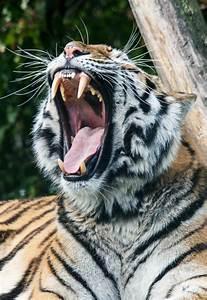 tiger tiger roar   Tumblr