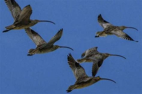 global conservation effort needed to protect migratory
