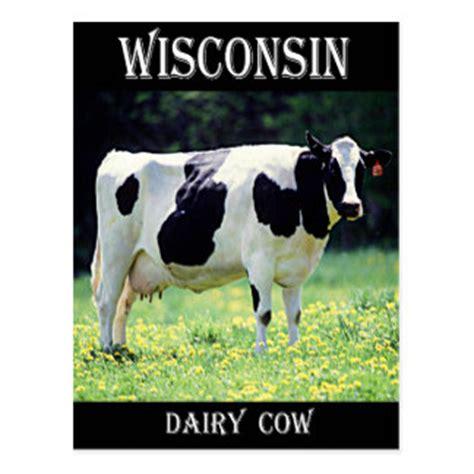 dairy cow postcards zazzle