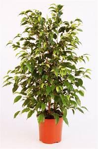 Arbuste D Intérieur : le figuier pleureur jardiner avec jean paul ~ Premium-room.com Idées de Décoration