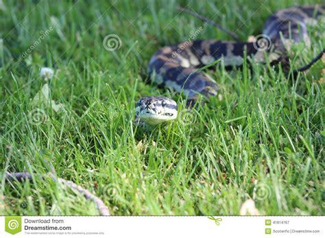 pitone tappeto serpente pitone tappeto della giungla immagine