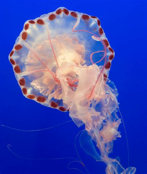 Sea Animals Jellyfish