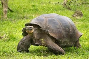 Giant Galapagos Turtle Ecuador South America Stock Photo