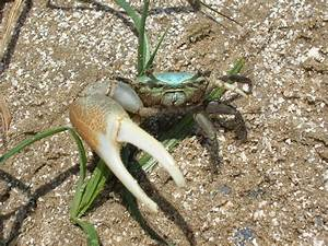 File:Fiddler Crab Gulf Coast.jpg