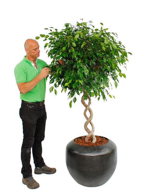 Große Zimmerpflanzen Kaufen