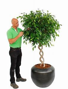 Palmen Für Drinnen : gro e zimmerpflanzen kaufen 123zimmerpflanzen ~ Bigdaddyawards.com Haus und Dekorationen
