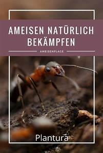 Ameisenplage Im Haus : ameisen im haus und garten nat rlich mit hausmitteln bek mpfen nachhaltigkeit nachhaltig leben ~ Orissabook.com Haus und Dekorationen