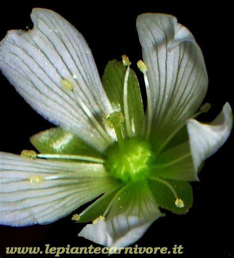 fiori ermafroditi struttura fiore