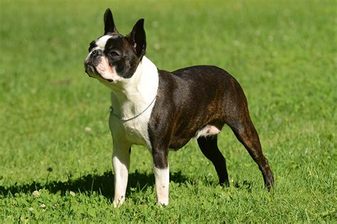 boston terrier schnueffelfreunde