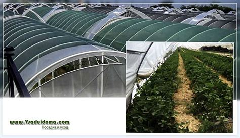 Zemeņu audzēšana siltumnīcā - priekšrocības un ...