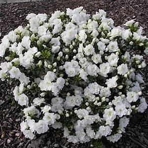 Pflanzkörbe Für Blumenzwiebeln : naturagart shop niedrige azalee wei online kaufen ~ Lizthompson.info Haus und Dekorationen