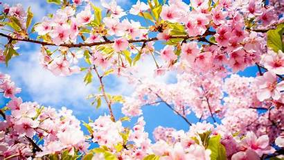 Cherry Blossoms Blossom Tree Desktop Trees Wallpapers