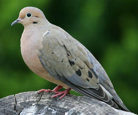 mourning dove british virgin islands national bird full