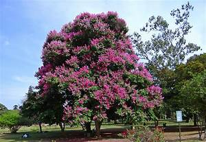 All About the Crape Myrtle Tree - Erica R Buteau