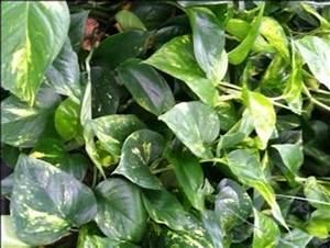 Caring for Pothos Devils Ivy