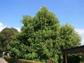 Tulpenbaum Liriodendron Tulipifera Baumschule Horstmann