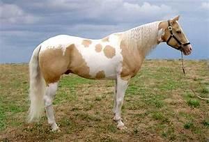 palomino paint horse | Paint horse & pinto | Pinterest ...