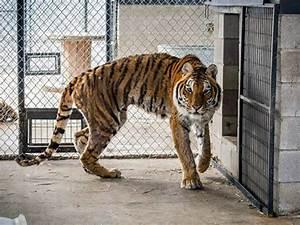 North Texas Animal Sanctuary Needs Help Feeding New Tigers ...