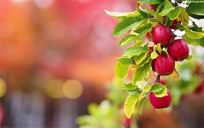 Apple Apples Tree Wallpapers Fruit Trees Leaves