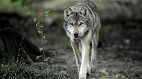 le loup de retour en limousin