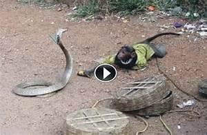 King Cobra Eating Crocodile | www.imgkid.com - The Image ...