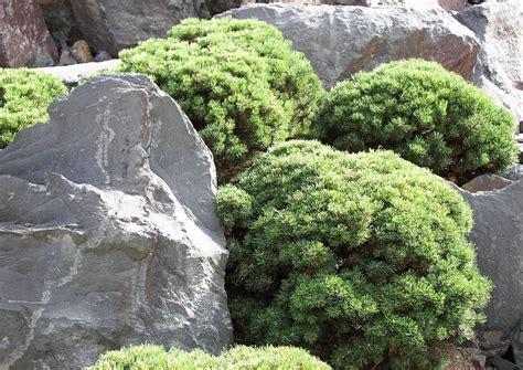 Japanischer Garten Kiefer by Pinus Mugo Gnom Japanischer Garten Formgeschnittene