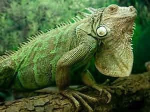 XROMM: Iguana Breathing