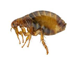 Why Do Cats Scratch Carpet by 5 Easy Home Remedies To Treat Flea Problem Safely Best