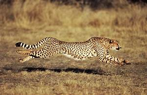 How Fast Can A Cheetah Run