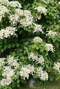 Evergreen Climbing Hydrangea Info  How To Grow Evergreen Hydrangea Vines