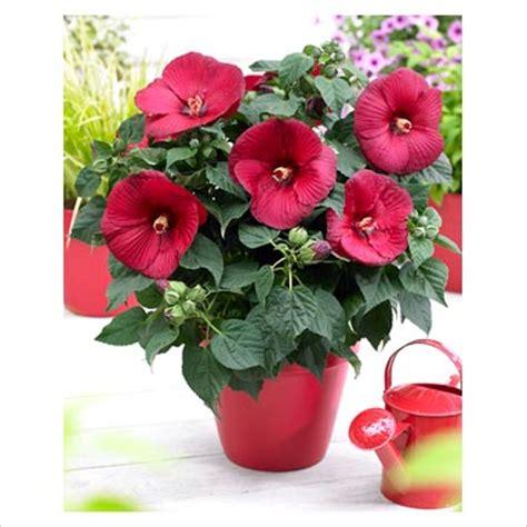 gap photos garden plant picture library hibiscus guido in pot gap photos