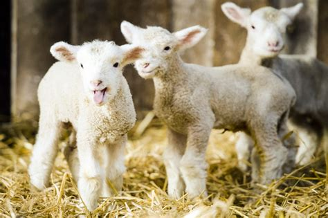 lambs farm holiday lights 5 baby lambs stolen from upper hutt farm wellington live