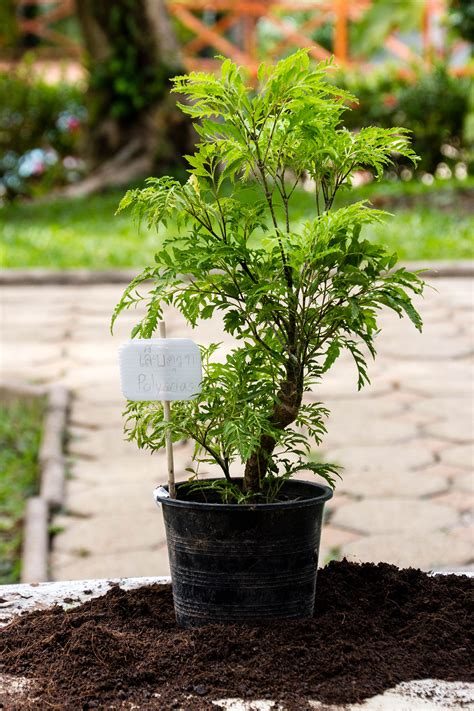 Polyscias fruticosa - Ming Aralia - Siam Pictures
