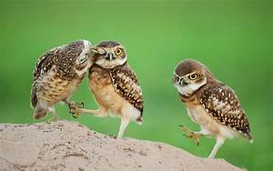 Owl baby birds showing love with each other very lovely ...