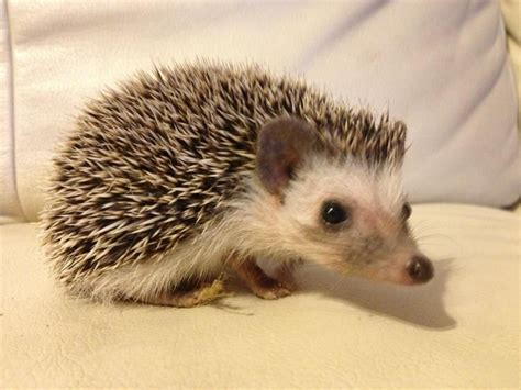 pygmy hedgehog female african pygmy hedgehog for sale milton keynes buckinghamshire pets4homes