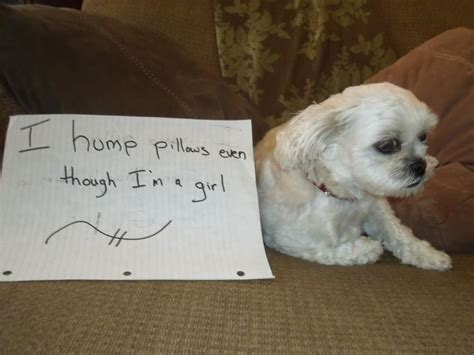 Dog Shaming  Girl Dog Humps Pillows  Dogs And Cats