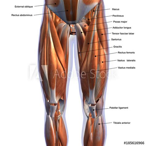 Anatomy muscle chart diagram poster muscle diagram muscle. Male Front Leg Muscles Labeled on White - Buy this stock ...