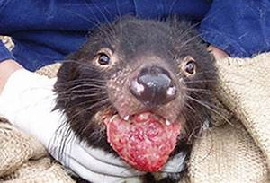 Tasmanian devils: Will rare infectious cancer lead to ...