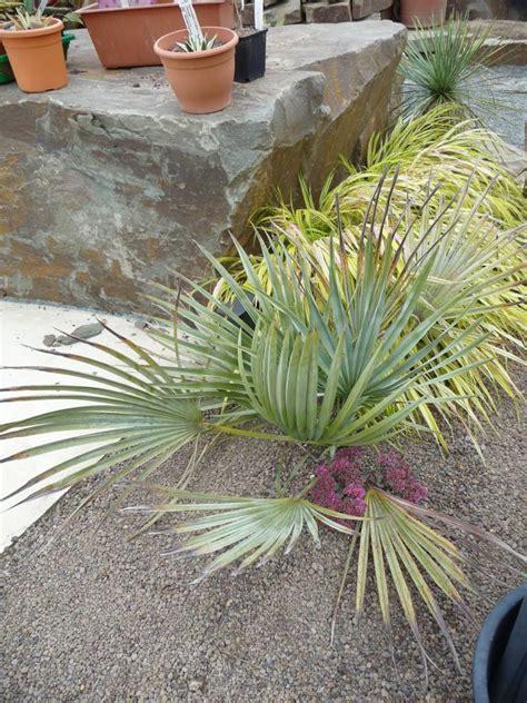 winterharte palmen bis 25 grad winterharte palmen bis 25 grad italia spezial winterharte palmen ja wir haben sie auch