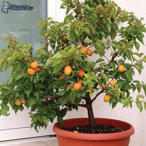 citrus salad tree aprikosen