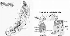 A Diagram Of Plasmodium   The Causative Agent Of Malaria