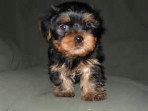 Dog Teacup Yorkie Puppies Free to Good Home