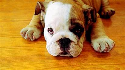 Bulldog English Wallpapers Bulldogs Puppy Puppies Georgia