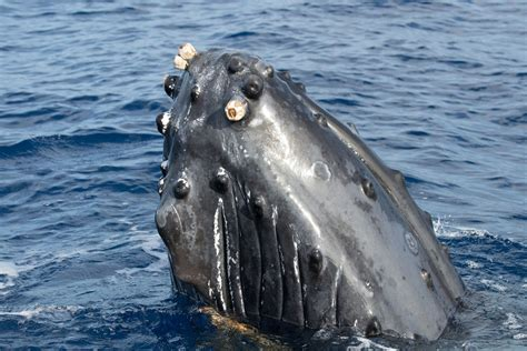 heres  massive humpback whale  swallowing