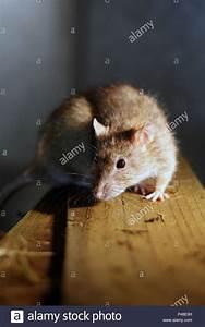 Ratte Im Haus : gew hnliche braune ratten stockfotos gew hnliche braune ratten bilder alamy ~ Buech-reservation.com Haus und Dekorationen